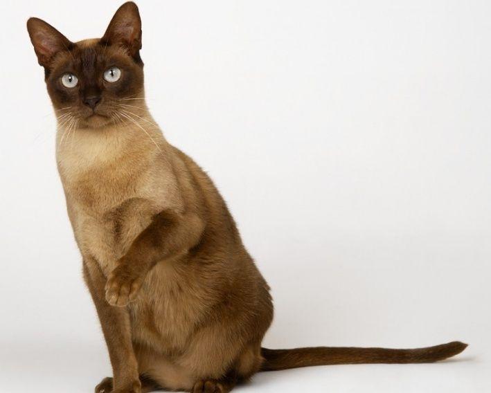 猫咪品种介绍|缅甸猫插图