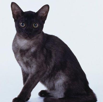 猫咪品种介绍|缅甸猫插图(2)