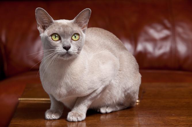 猫咪品种介绍|缅甸猫插图(1)