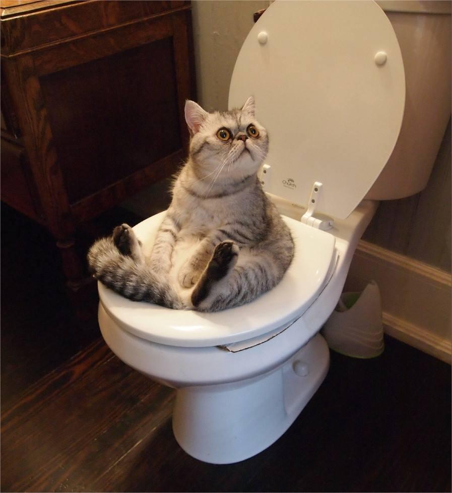 猫咪疾病,猫咪老是便秘怎么办?插图