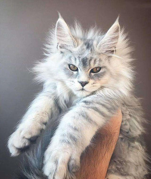 猫咪品种介绍|缅因猫插图(5)