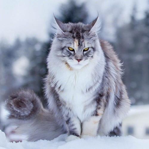 猫咪品种介绍|缅因猫插图(4)