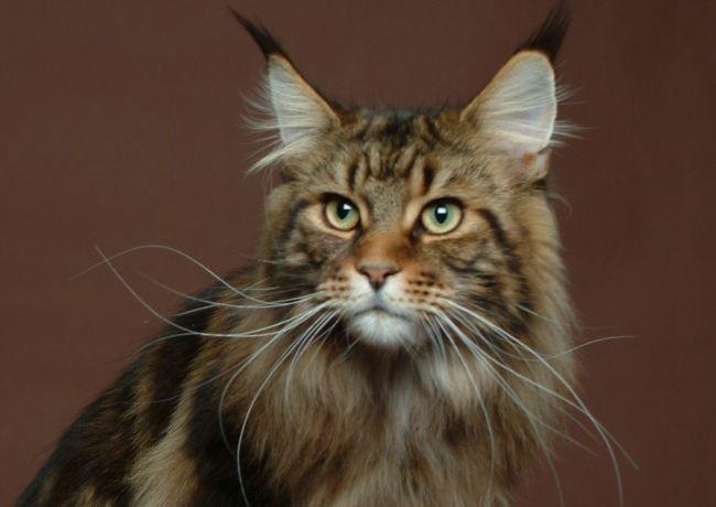 猫咪品种介绍|缅因猫插图(3)