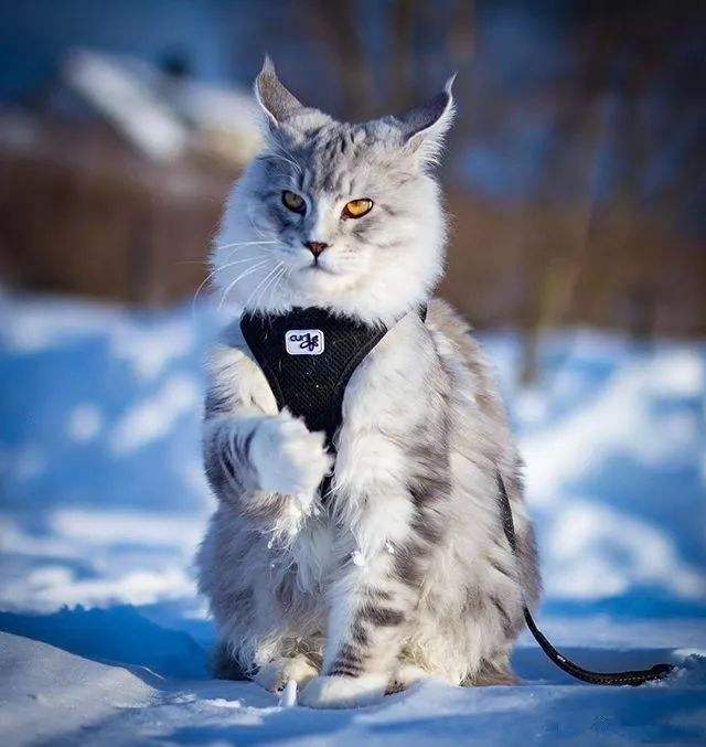 猫咪品种介绍|缅因猫插图(2)