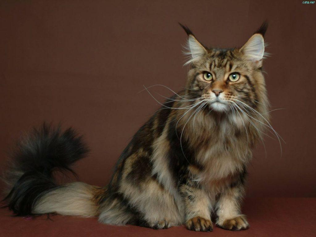 猫咪品种介绍|缅因猫插图(1)