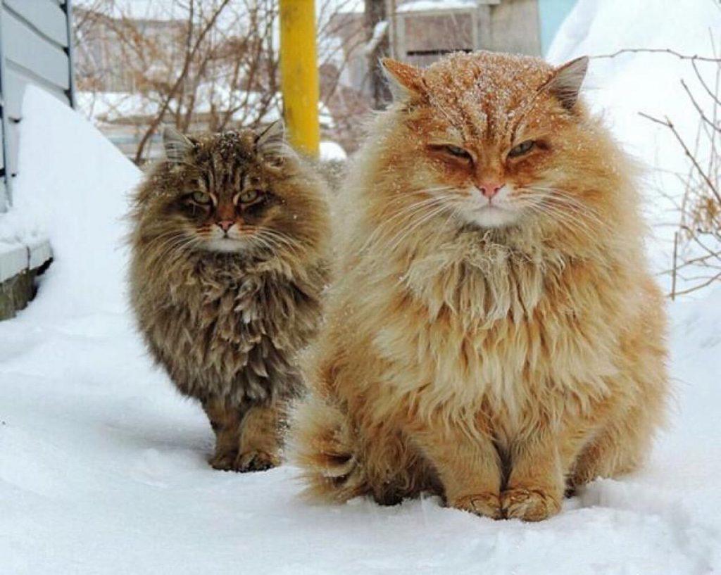 猫咪品种介绍|缅因猫插图