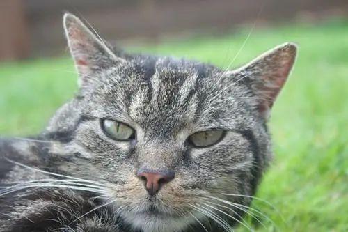 猫的爪子能不能剪掉,猫咪的指甲能不能剪掉,需要注意什么插图
