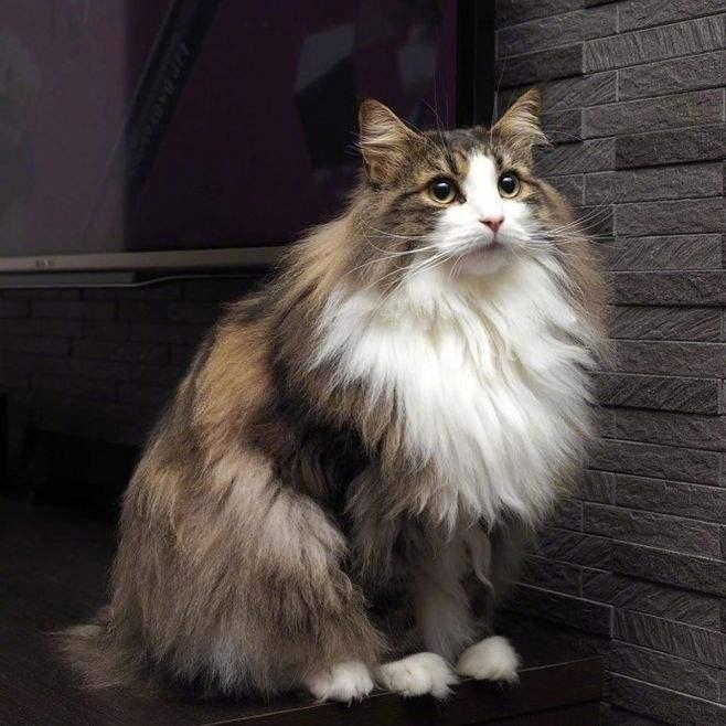 猫咪品种介绍|挪威森林猫插图(5)