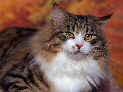 猫咪品种介绍|挪威森林猫插图(4)