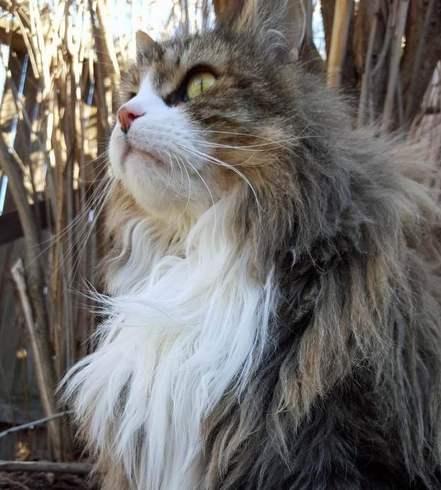 猫咪品种介绍|挪威森林猫插图(3)