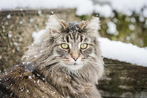 猫咪品种介绍|挪威森林猫插图(2)