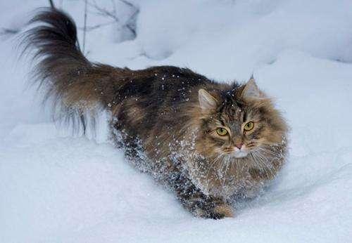 猫咪品种介绍|挪威森林猫插图(1)