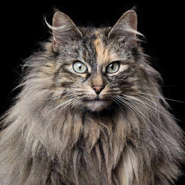 猫咪品种介绍|挪威森林猫插图