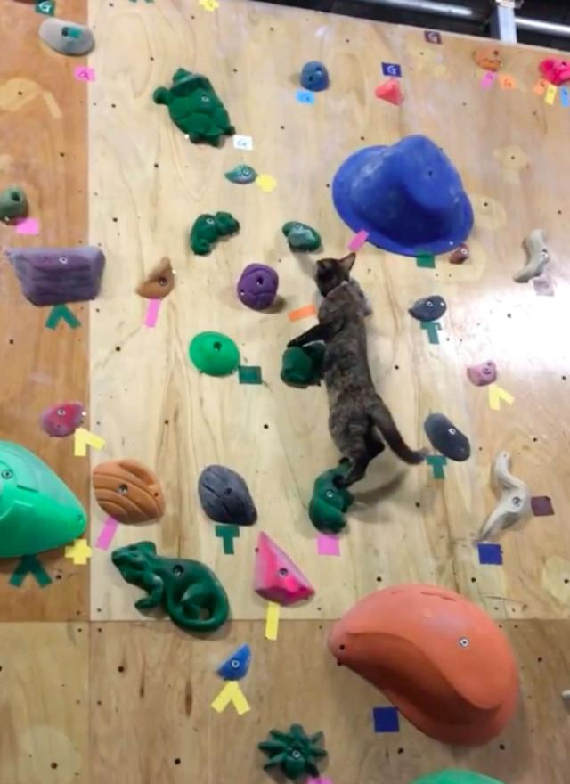 流浪猫靠着观摩别人攀岩,成为了攀岩高手,还因此升职成为了经理插图(4)