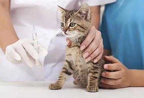 猫咪疱疹症状表现有哪些,怎么办怎样如何治疗,疱疹病毒是猫鼻支吗插图(6)