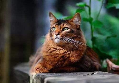 猫咪品种介绍|索马里猫插图(5)