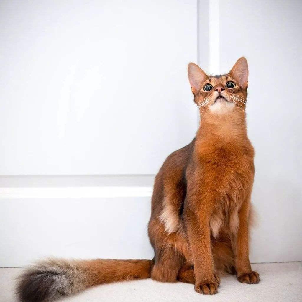 猫咪品种介绍|索马里猫插图(3)