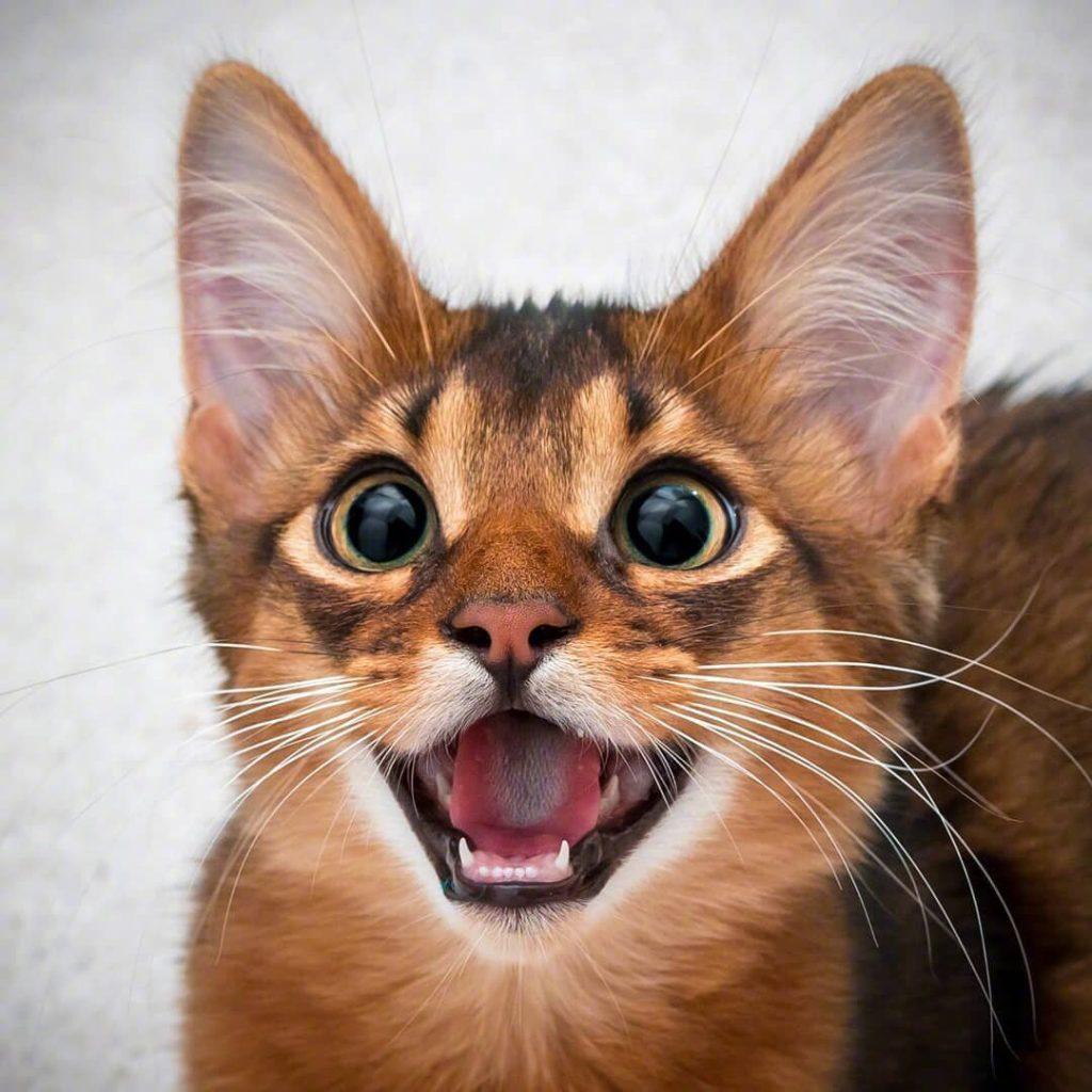 猫咪品种介绍|索马里猫插图(2)