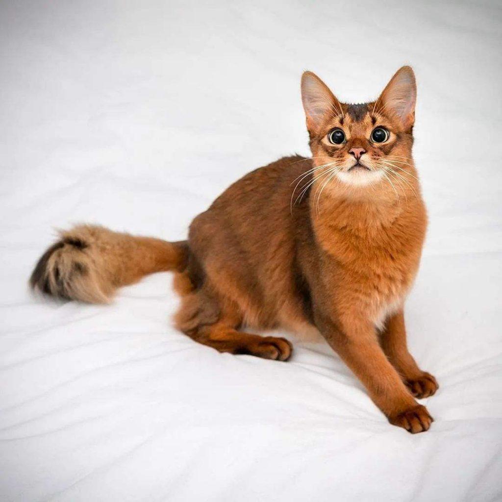 猫咪品种介绍|索马里猫插图(1)