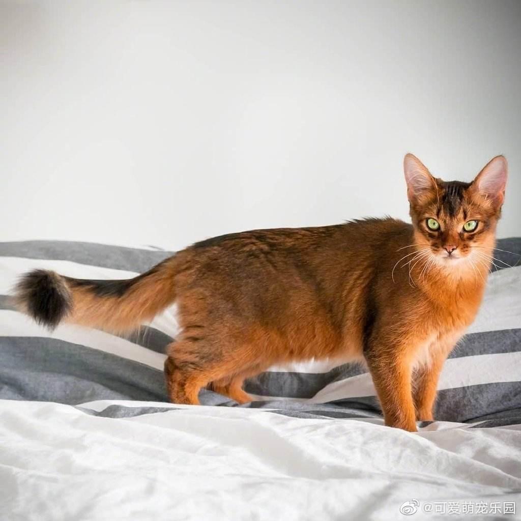 猫咪品种介绍|索马里猫插图