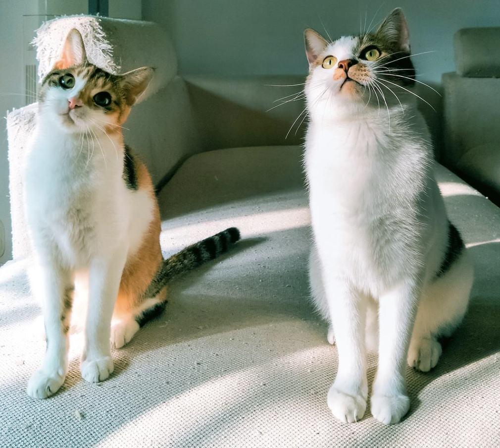 猫咪品种介绍|中华田园猫插图(4)