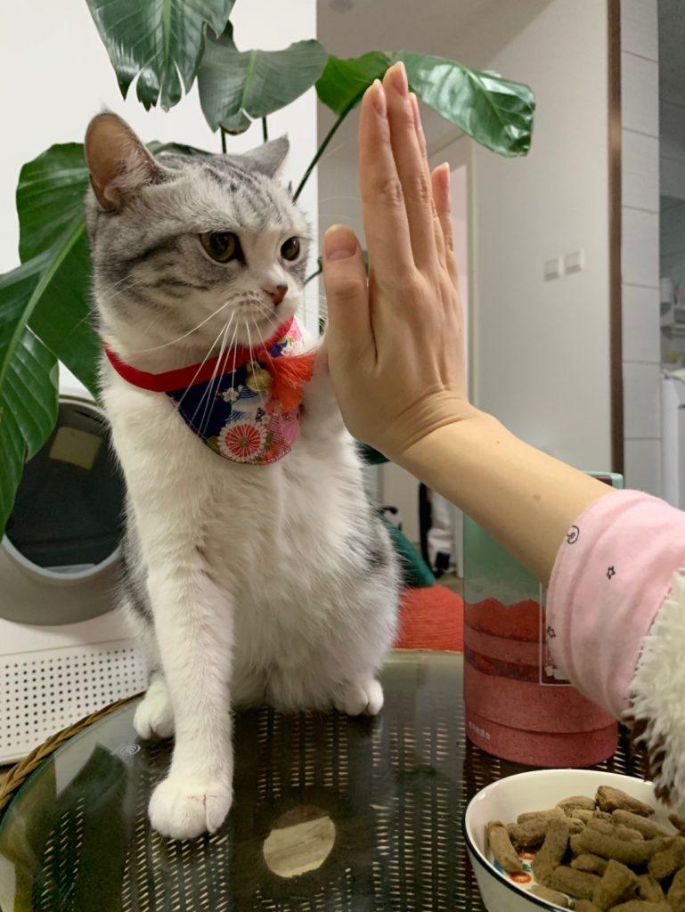 如何训练猫咪握手和击掌?插图(1)