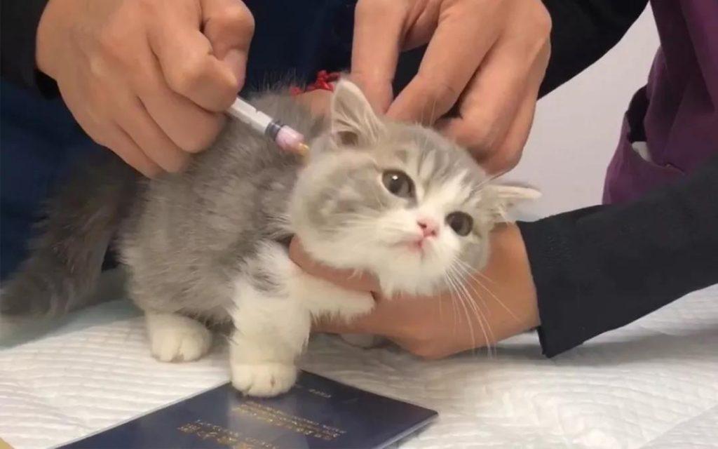 猫咪用生命换来的教训,疫苗不要打在这里!插图(2)