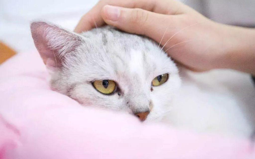 猫咪用生命换来的教训,疫苗不要打在这里!插图(4)